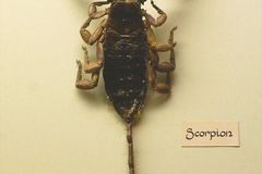 hadogenes rock scorpion