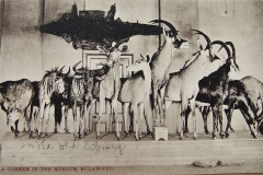Antelope on Display in the 1920's
